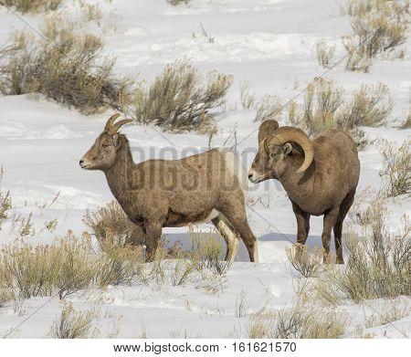 Ram Bighorn Sheep Smelling Rear Of Ewe For Pheromones  During Rut In December