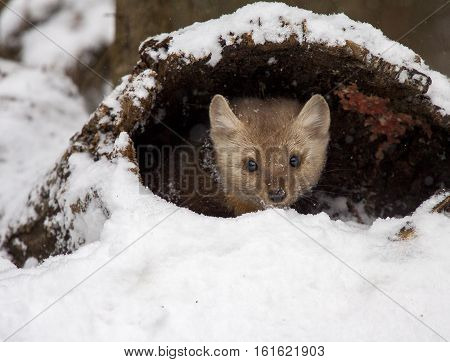Pine Martin Hiding In Hollow Log In Snow During Winter Time