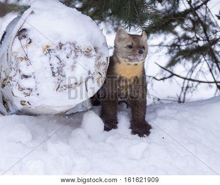 Pine Marten Standing Next To Log In Deep Snow With Fir Tree Behind