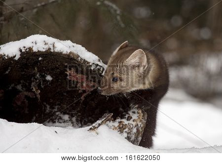 Pine marten looking into hollow log for hiding place during winter