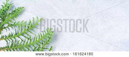 Branch of thuja the cypress tree on bright blue background with copy space for text. Banner, header.