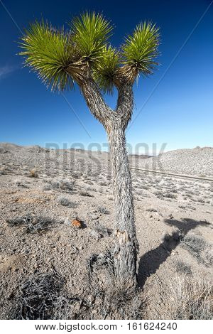 Joshua Tree on the dry land of the Death Valley National Park, USA