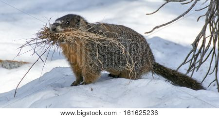 Yellow-bellied Marmot (Marmota flaviventris) carrying grass to line its burrow for warmth and comfort. Desolation Wilderness, El Dorado County, California, USA.