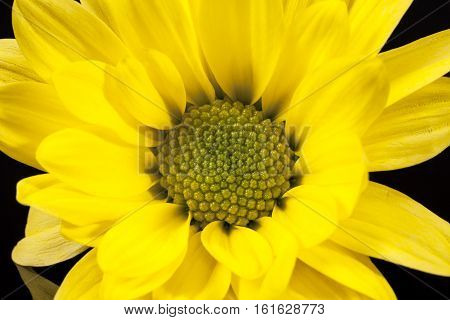 Flower of yellow marguerite (Leucanthemum vulgare) on black background close up