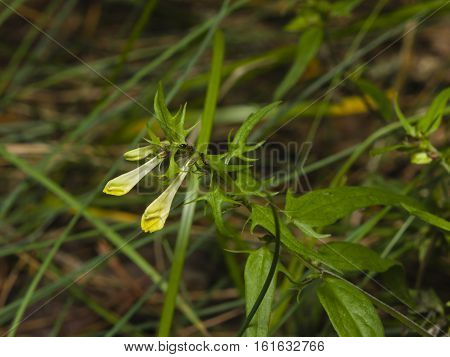 Common Cow-wheat Melampyrum pratense blossom close-up selective focus shallow DOF