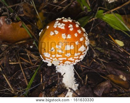 Fly agaric Amanita muscaria poisonous fungus with orange cap in forest macro selective focus shallow DOF