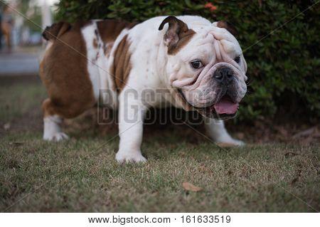 White English Bulldog urinate on the grass