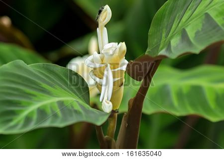 Closeup of Prayer plant, Calathea warscewiczii white herbaceous flower with hairy caterpillar in the garden in Singapore
