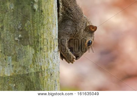 Closeup of brown Tree Squirrel biting hard shell nut on the tree facing downward with blurred background