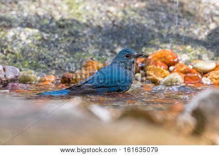 Beautiful Verditer Flycatcher bird in blue playing soaking body in cold water in Thailand, Asia (Eumyias thalassinus)