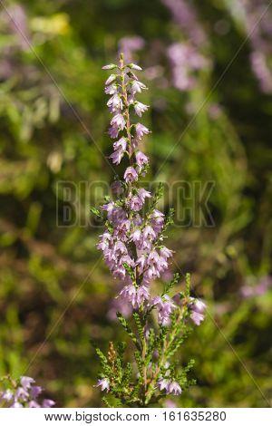 Wild Purple Common Heather Calluna vulgaris blossom close-up selective focus shallow DOF