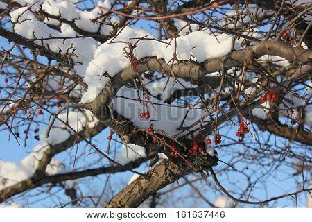 Fresh White Snow with red crab apple drupes and blue sky