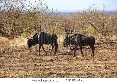 a pair of brindled gnu in the south african bush in the Kruger National Park