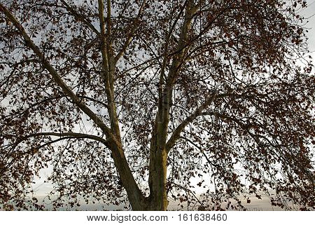 The first centenary flat tree branches in nature