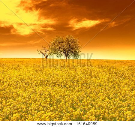 Yellow oilseed rape field with trees in sunset sky