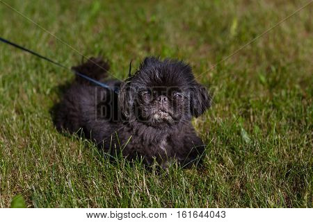 Black young Pekingese seet on green grass