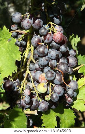Natural purple grapes without herbicides and pesticides