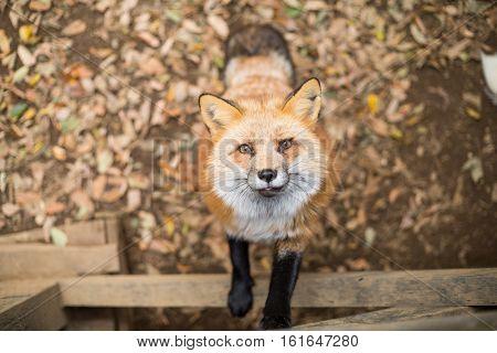 Fox climb up for food