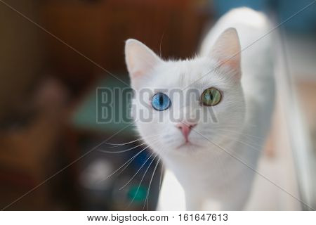 White fluffy cat with different eyes closeup. Cat with blue and green eye
