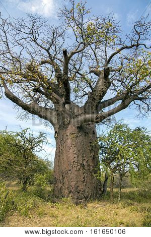 African Baobab Tree Adansonia digitata in Tarangire National park, Tanzania