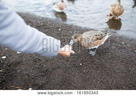 Woman feeding wild duck