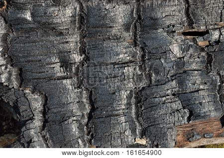 A close up of the part of burned tree after forest fire.