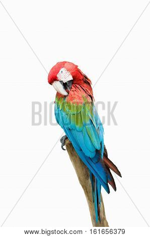 Scarlet Macaw Parrot, white background, color image