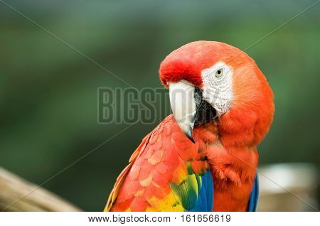 Red Parrot Looking At Camera