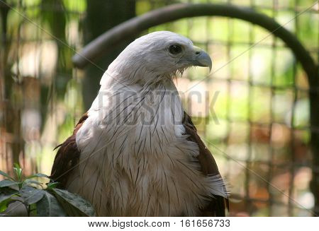 The brahminy kite, also known as the red-backed sea-eagle in Australia, is a medium-sized bird of prey in the family Accipitridae, which also includes many other diurnal raptors, such as eagles, buzzards, and harriers
