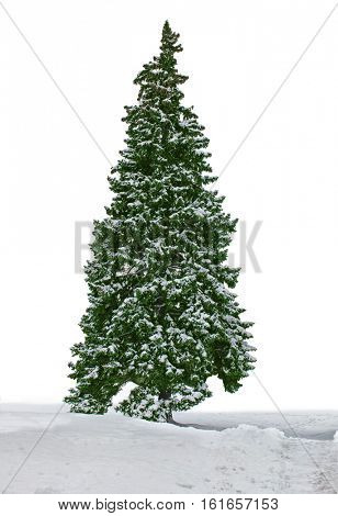 snowy fir tree  with snow isolated on white