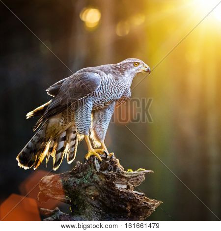 Goshawk is sitting on the tree stump in the forest, close-up.
