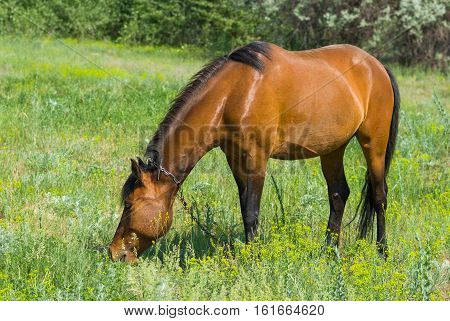 Chestnut horse (mare) grazing on a spring pasture.