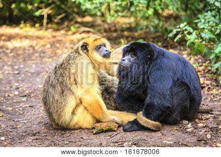 Male and female Black Howler monkeys at primate rescue center near Plettenberg Bay, South Africa