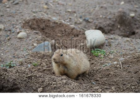 A prairie dog by their hole in the ground
