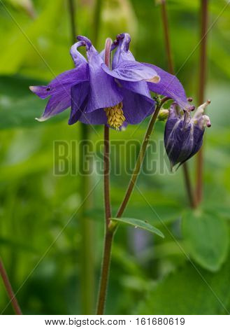 Aquilegia vulgaris L. (European columbine Common columbine Granny's nightcap Granny's bonnet) is a species of columbine native to Europe. It is a flowering herbaceous perennial plant growing to 1.2 m tall with branched thinly hairy stems. The leaves are b