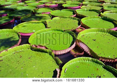 Victoria Amazonica, Mauritius