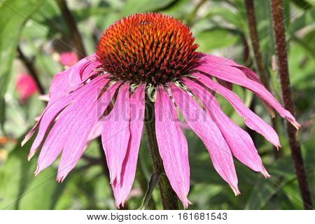 Echinacea purpurea a popular purple hardy perennial garden plant often called a coneflower