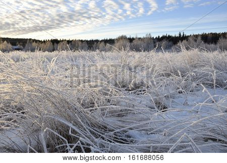 Meadow with frosty grass and weak light from the Midwinter sun forest in background and blue sky with some clouds picture from the North of Sweden.