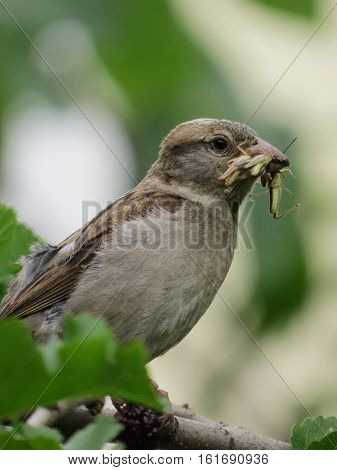 Sparrow is carring his prey to his nestlings