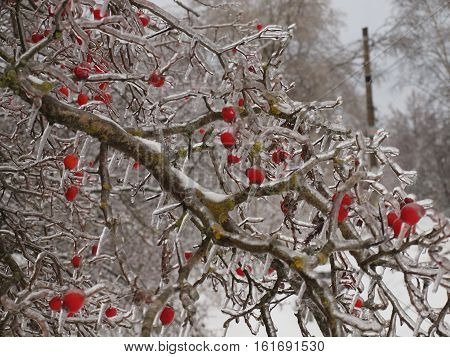 Tree with red berries covered with icicles.