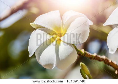 Plumeria fower in morning sun on the Plumeria tree