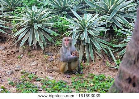 monkey mother gently hugs the toddler sitting on the ground, the baby clings to the mother's feet, touching views on the background of tropical plants