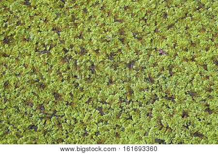 Green marsh vegetation close up in swamp