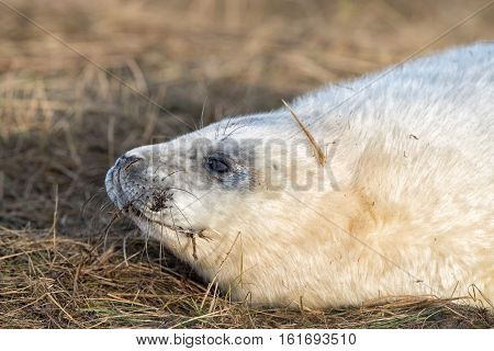Grey Seal Puppy While Looking At You