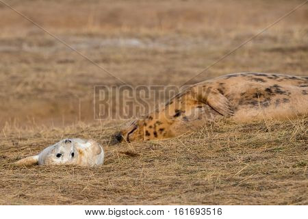 Grey Seal Puppy And Mother Cow While Looking At You