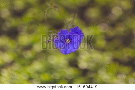 small blue flower on an indistinct background