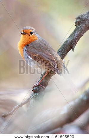 A European Robin (Erithacus rubecula) perched on tree against a blurred natural background