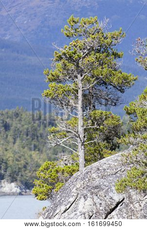 The tree growing on a cliff in Skagway (Alaska).
