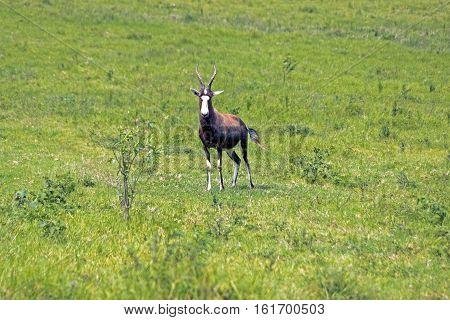 South African Bontebok On Green Grassland