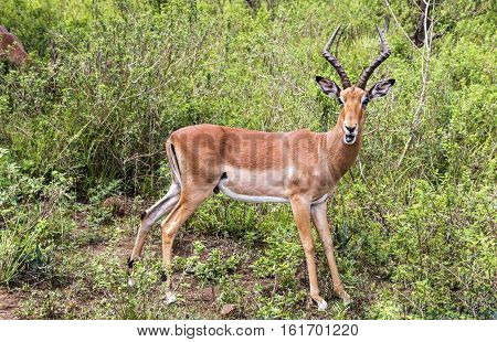Male Impala Antelope In South African Bush